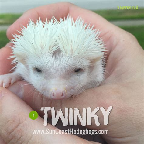 hedgehog for sale twinky pinto pinto available hedgehogs for sale