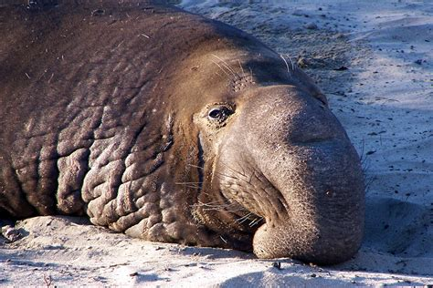 THE NORTHERN ELEPHANT SEAL | XAMOBOX.BLOGSPOT.COM, RELAX