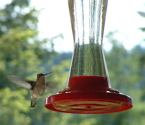 hummingbird food mixture ratio related keywords