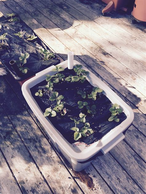 rubbermaid container garden container gardening earthbox vs rubbermaid tote boing boing