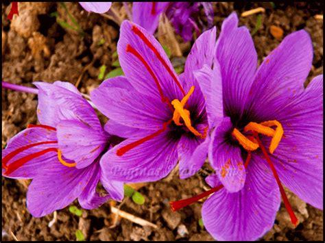la flor del azafrn el azafr 225 n la especia m 225 s seductora del mundo