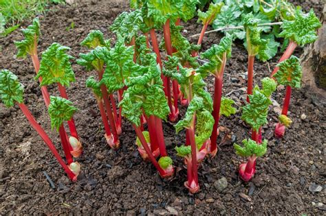 grow rhubarb  ways