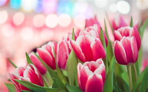 wallpaper pink tulip pink tulips wallpapers wallpaper cave