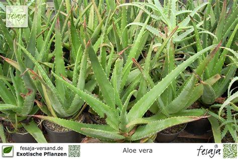 Pflege Aloe Vera Pflanzen 2373 by Echte Aloe Vera Pflanze Fesaja Versand