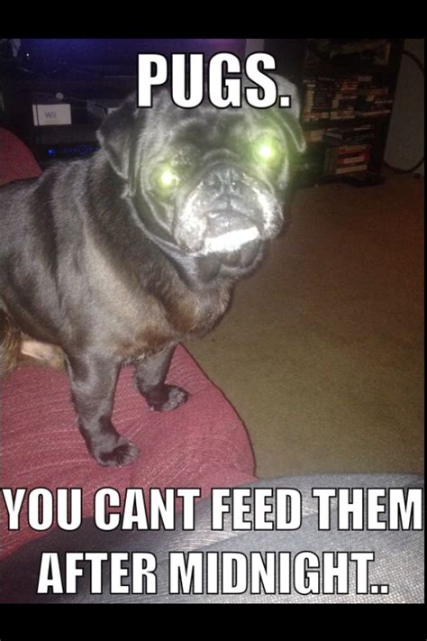pugs meme they do look and sound like gremlins pug meme pugs