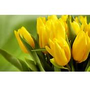 All Tulips Happy Mothers Day Tulip Flower Photos  Beautiful Black And