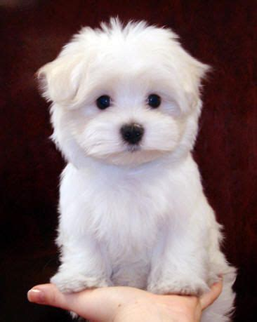 maltese x poodle lifespan 1000 ideas about maltese poodle on maltipoo