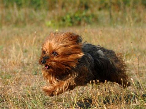 yorkie puppy tips lakeland terrier een vrolijke familie hond hond