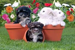steel city havanese havanese breeders