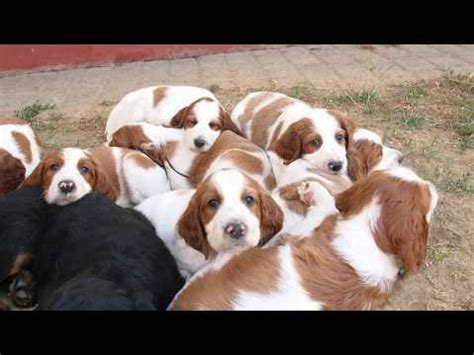 irish setter dog youtube irish red and white setter puppies shadow dog youtube