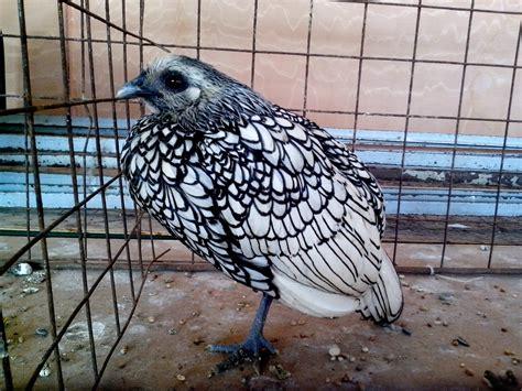animali da cortile gratis foto gratis ornamentali animali da cortile insolito corsa