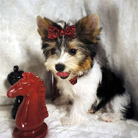 yorkies for sale scotland 52 best yorkie images on yorkies yorkie and animals