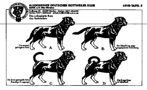 what is rottweiler the gallery for gt german rottweiler and american rottweiler what is the difference