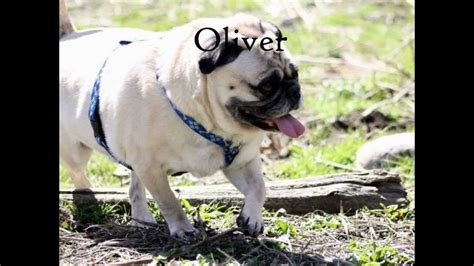 prone pug adopt me pug rescue of new prone pugs available for adoption as of 4 15 12
