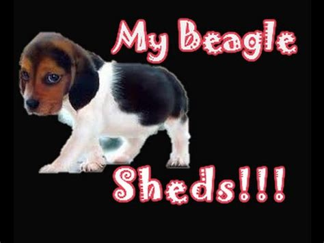 gotten beagle shedding hair all your house lately