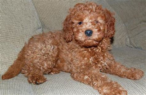 mini goldendoodle tucson noah the miniature goldendoodle puppies daily puppy