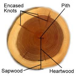 why is heartwood darker in color than sapwood the purple kiri s amaranthine