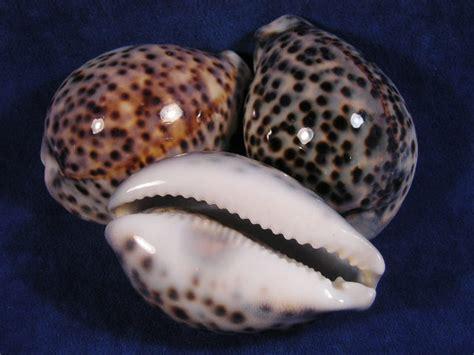 cowrie shell tiger cowrie seashells cypraea tigris