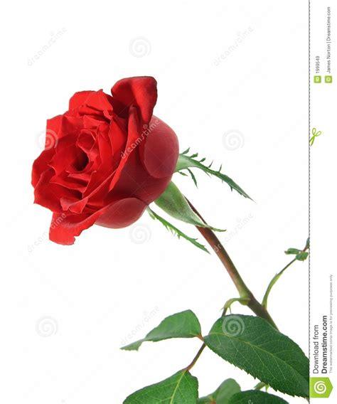 long stem rose royalty free stock images image 1999549