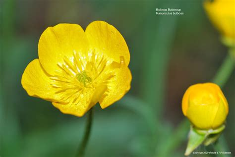 Yellow Möbel by Us Wildflower S Database Of Yellow Wildflowers For
