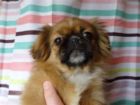 pekingese puppies pekingese puppy gorebridge midlothian pets4homes