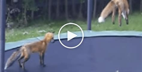 foxes  bouncing  joy   trampoline