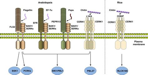 pattern recognition receptor kinases receptor kinases in plant pathogen interactions more than