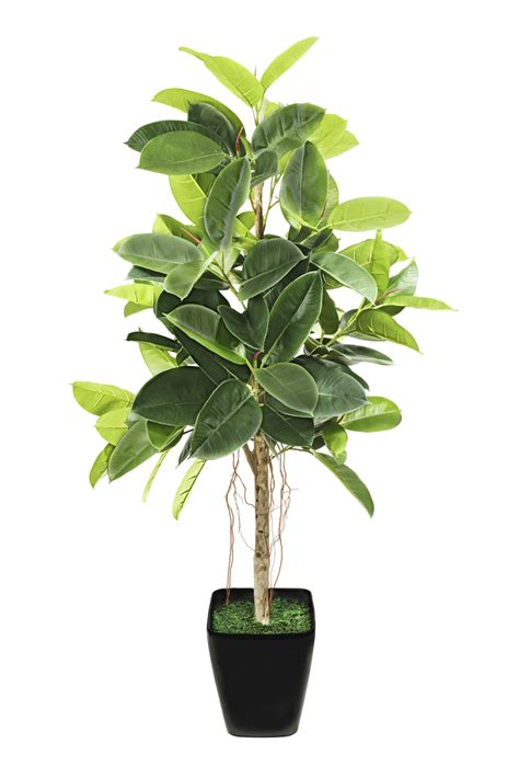 rubber fig what to do if rubber plant leaves are turning yellow and