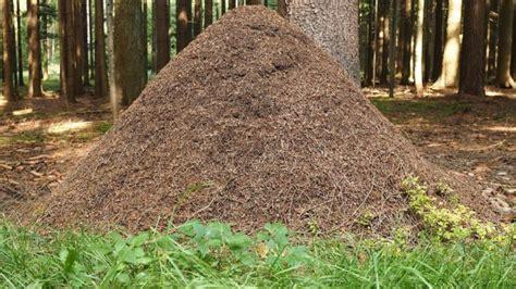 ameisenhaufen im garten ameisen lebensweise k 246 rperbau und fortpflanzung