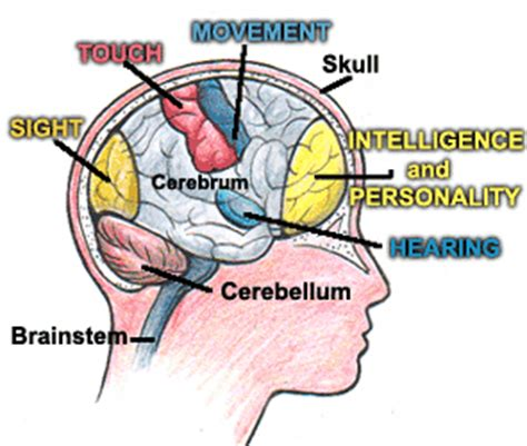 sections of the brain and what they control gr7human body nervous system