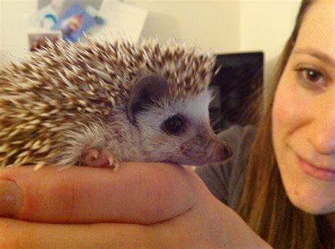 cute baby hedgehog smiling image gallery smiling hedgehog