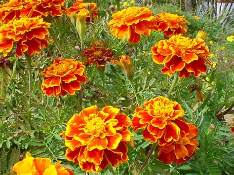 marigolds shade what are some outdoor garden plants that will tolerate full sun