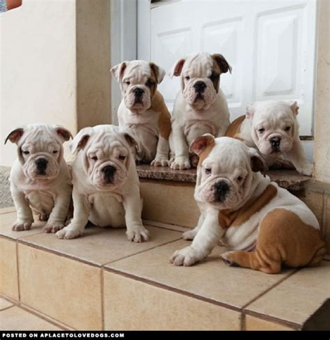 bulldog puppies for sale in florida cheap miniature bulldog puppies for sale design bild