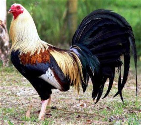 animales fotos dibujos imagenes fotos de gallos im 225 genes de gallos de pelea im 225 genes