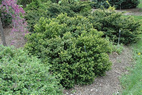 Steins Gardens by Green Velvet Boxwood Buxus Green Velvet In Milwaukee