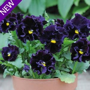 Mr Fothergills Pansy Frou Frou Mixed viola hybrida frou frou violet wholesale seeds and vegetative from thompson