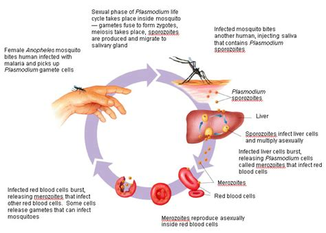 pathophysiology of malaria diagram figure 20 7