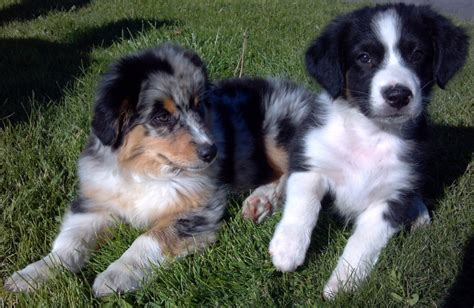 australian shepherd puppies for adoption asca australian shepherd dogs for adoption