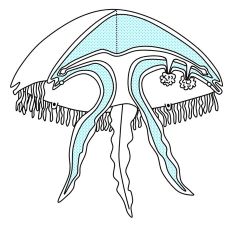 diagram of a jellyfish jellyfish medusa diagram www pixshark images