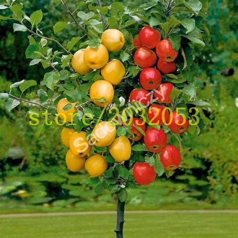 fruit tree seeds 100 apple tree seeds bonsai apple tree mini fruit