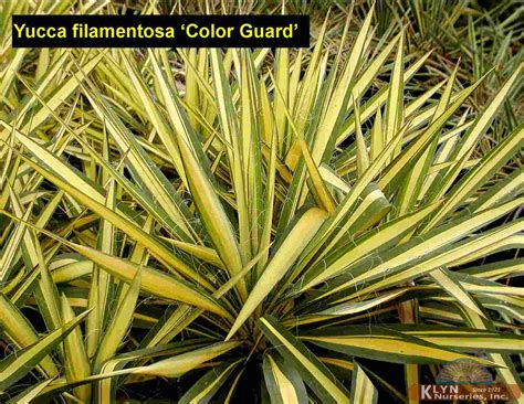 yucca color guard yucca filamentosa color guard klyn nurseries inc