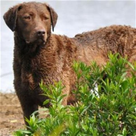 chesapeake puppies for sale chesapeake bay retriever breeders akc chesapeake bay retriever puppies for sale