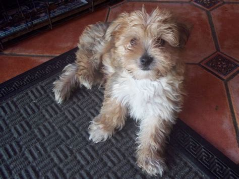 yorkies morkies and more maltese x yorkie morkie holyhead isle of anglesey pets4homes