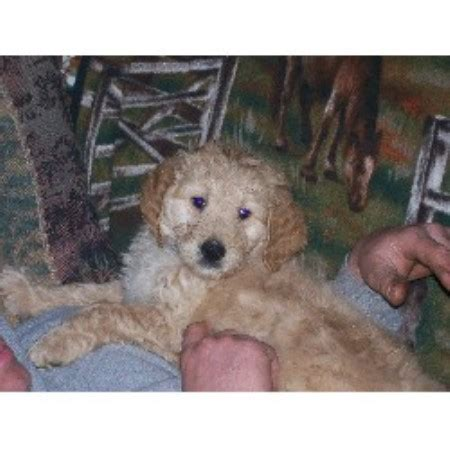 standard goldendoodle puppies mn goldendoodle breeders in minnesota freedoglistings