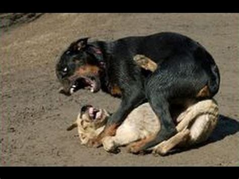 pitbull vs rottweiler fight rottweiler vs pitbull who would win in a fight