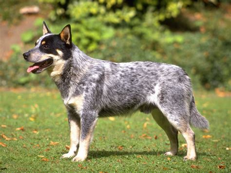 cattle dogs c 227 es c 227 es australian cattle 02