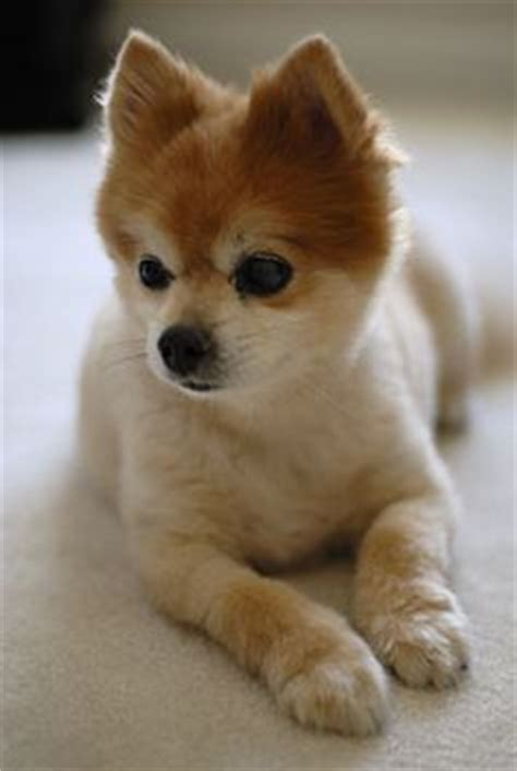 how to cut pomeranian hair like boo all thing puppy
