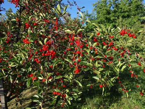 cherry tree pictures pie cherries grouse mt farm s