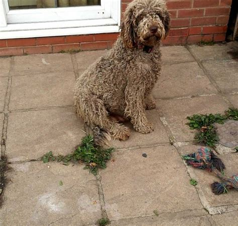 collie doodle puppies for sale 2 labradoodle x collie for sale lydney gloucestershire