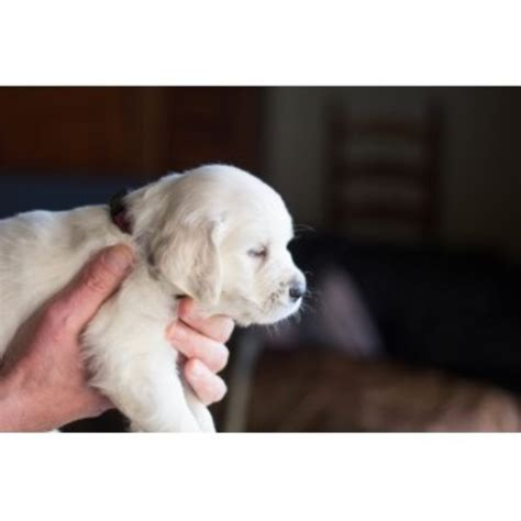 golden retriever breeders tennessee cold mountain retrievers golden retriever breeder in chuckey tennessee